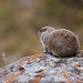 bear popcorn (autonomic) Tags: alaska denalinationalpark arcticgroundsquirrel depthoffield dof lichen