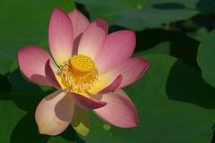 Lotosblume (to.wi) Tags: lotos lotus lotosblume lotusblume blüte blume flower towi wilhelma seerose seerosenteich