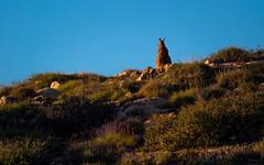Morning visit II (Eifeltopia) Tags: stones steine skippy roo kanga jackielegs kangaroo beuteltier marsupial outback downunder australia wildlife pflanzenfresser herbivores animal tier redkangaroo macropusrufus rotesriesenkänguru macropodidae sit bluesky hill varietyofgrasses inthemorning chill friendly