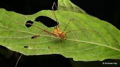 Harvestman, Opiliones (Ecuador Megadiverso) Tags: andreaskay arachnida cranaidae ecuador harvestman mindo opiliones