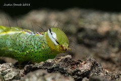 Cool Green Caterpillar (strjustin) Tags: caterpillar bug insect macro