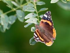 EM153192_DxO.jpg (riccardof55) Tags: farfalla