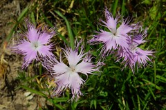 Œillets de Montpellier à pétales rose (ViveLaMontagne67) Tags: france alpes alpen alps dévoluy bure rose œillet oeillet flowers pink 250v10f