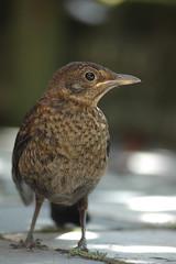 Merel - Blackbird (johco266) Tags: merel blackbird amsel merle turdusmerula nikon zangvogel gardensafari backyard vogel vögel bird birds oiseau oiseaux nature birdwatching