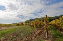 Vignoble de Zimmerbach (Haut-Rhin, France) (AT Photographie) Tags: automne autumn alsace hautrhin nikon vigne vignoble