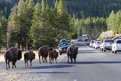2018-09-trip-3-yellowstone-4-wildlife-mjl-21 (Mike Legeros) Tags: wyoming yellowstone nationalpark bison bisonjam buffaloroam