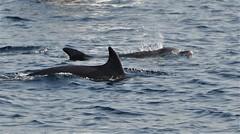 Wauwww.........Series of 4 photos (wilma HW61) Tags: dolfijnen vis fish dolfijn dolphin delfino dauphin delfin water wasser natuur nature natur naturaleza animal tier beast dier dalmacija dalmatië dalmatia kroatië croatia croazia europa europe nikond90 wilmahw61 wilmawesterhoud zee sea outdoor wow