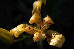 Death (DanielaC173) Tags: flower yellow lily tigerlily lilium liliumlancifolium decayingflower