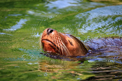 Surfacing sealion (Janek Uin) Tags: city newyork wildlife zoo brooklyn sealion animal