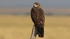 Dark Morph Swainson Hawk (Bill G Moore) Tags: darkmorphswainsonhawk birdofprey naturephotography raptor wild wildlife canon laramie wyoming perched brown