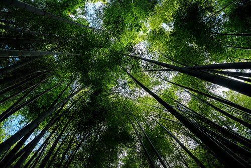 Bamboo forest of Hokoku-ji Temple in Kamakura : 報国寺の竹林(鎌倉市浄明寺)