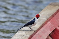 Кардиналовая овсянка, Paroaria capitata fuscipes, Yellow-billed Cardinal (Oleg Nomad) Tags: кардиналоваяовсянка paroariacapitatafuscipes yellowbilledcardinal птицы боливия bird aves bolivia