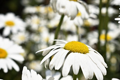 White Flowers (roanfourie) Tags: flower flowers floral white petals yellow green day daylight sun spring nikon d3400 nikkor dx afp 1855mm raw gimp october 2018 daisies flickrlounge weeklytheme photographerschoice