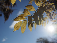 Sun Shining through Autumn Leaves (Mel_is_Moving) Tags: bradford epl6 olympus pen sky trees clouds outside outdoor uk leaves autumn westyorkshire