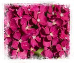 Hydrangea (Audrey A Jackson) Tags: canon60d hydrangea petals colour pink nature