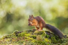 Red Squirrel-24.09.18_54I5871 (Jayne Bond) Tags: redsquirrel brownsea red dorset dorsetwildlife