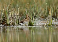 Common Snipe  --- Gallinago gallinago (creaturesnapper) Tags: danubedelta romania europe waterbirds waders commonsnipe gallinagogallinago siteno521