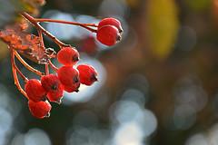 Autumn Lights (simson60) Tags: autumn bokehlicious bokeh herbst nikond7100 beeren gegenlicht