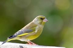 Greenfinch (Carduelis chloris) - Taken at Summer Leys Nature Reserve, Wollaston, Northants. UK. (Ian J Hicks) Tags: