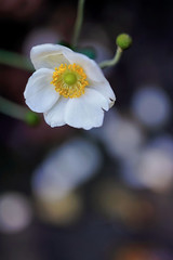 VanDusen Botanical Garden 溫哥華植物園 (syue2k) Tags: british columbia 不列顛哥倫比亞省 canada vancouver 温哥華 vandusen botanical garden 溫哥華植物園 pretty flowers 花姿招展