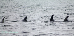 IMG_8537 (b_bev) Tags: montereybay monterey bay california usa wildlife sealife whales dolphins pelicans seals birdlife nature ocean sea