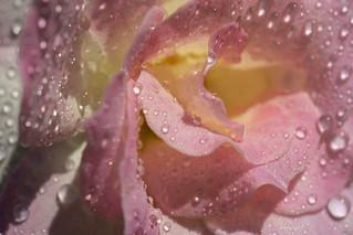 September rose ...