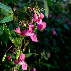 03092018-DSCF1032-2 (Ringela) Tags: flower nature macro fujifilm xt1 leksands rastplats september 2018 sweden impatiens grandiflora