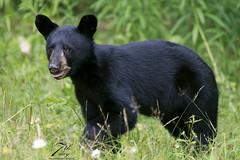 Little one (Seventh day photography.ca) Tags: blackbear bear animal wildanimal wildlife predator mammal ontario canada summer woods forest cub young