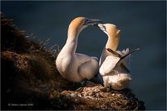 Gannets (Sandra Lipproß) Tags: gannet northerngannet bird seabird birding wildlife nature england yorkshire bemptoncliffs animal outdoor sea