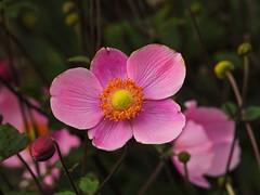1835ex  tickled pink (jjjj56cp) Tags: flowers blossoms blooms buds anemone japaneseanemone pink colorful vivid contrast cincinnatizoo czbg autumn fall details center closeup p1000 coolpixp1000 nikoncoolpixp1000 cincinnati oh ohio cincinnatiohio jennypansing dof