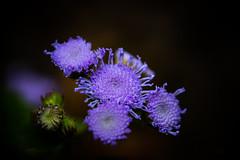 Light .... (Julie Greg) Tags: flower flowers colours canon details macro park light purple plant