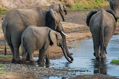 Drinks! (iamfisheye) Tags: np elephant nikon nik01 nationalpark swtnz2018 xqd tanzaniaoctober2018 elephants ruaha d500 animal