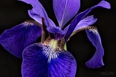 Dutch Iris II (John C. House) Tags: everydaymiracles nik longexposure nikon flowers flowersmacro closeup iris johnchouse tennessee depthoffieldstacking macro d810 dutchiris heliconfocus