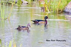 IMG_7276 (nitinpatel2) Tags: bird nature nitinpatel