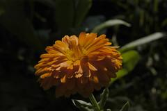 Ringelblume (petra.wruck) Tags: blume blumen flower flowers pflanzen pflanze plants plant macro makro