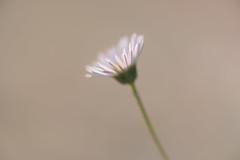 light (christophe.laigle) Tags: christophelaigle fleur macro nature flower fuji daisy pâquerette xpro2 xf60mm light coth