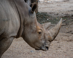 Tony (kimkullman) Tags: nikon photography zoo philadelphia animal safari white rhinoceros rhino soil