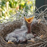 The Currawong chicks thumbnail