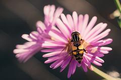 Bee close-up (Sorin Mutu) Tags: minolta af 50mm f28 macro