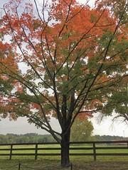 Garrison Forest ~ Maple time (karma (Karen)) Tags: garrisonforest trees maples fallcolors fences hff iphone topf25