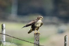 Wildlife October 7th 2018 116 - Buzzard in the wind (Mark Schofield @ JB Schofield) Tags: pennine way south pennines peak national park trust hills moors vallies valley reservoir water peat moorland bog moss agriculture yorkshire huddersfield wessenden head pule buckstones scammonden royd edge holme colne marsden meltham digley march haigh west nab deer emley mast lapwing curlew hare bird wildlife oyster catcher chick young short eared owl hunting little duck mallard grouse kestrel red grey wagtail flight fly moorhen buzzard heron dipper geese canada goose great tit blue finch
