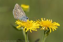 Azuré commun - Common Blue (dom67150) Tags: argusbleu azurécommun azurédelabugrane butterfly commonblue insect insecte nature papillon polymmatusicarus