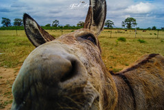 """GARANTO_QUE_ESTE_DE_BURRO_SÓ_TINHA_A_PARTE_FISICA""_TETE_MOÇAMBIQUE (paulomarquesfotografia) Tags: garanto que este de burro só tinha a parte fisica tete moçambique sony a230 sal1855mm paulo marques mozambique nuvens clouds macro bokeh desfoque dumb donkey natureza nature"