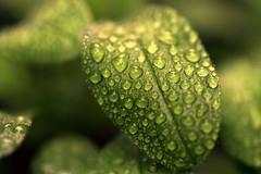 nourish (joy.jordan) Tags: leaf raindrops texture color bokeh nature mybackyard