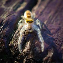 Jumping Spider - Arachtober 14 (jciv) Tags: macro spider jumping arachnid arachtober arachtober2018 arachnids arachnida araneae araneomorphae entelegynes jumpingspider jumpingspiders salticidae salticid dendryphantinae hentzia hentziamitrata taxonomy:binomial=hentziamitrata