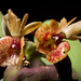 [Ecuador] Epidendrum kockii Hágsater & Dodson, Icon. Orchid. 3: t. 343 (1999)
