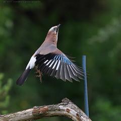 lift off (senn_b) Tags: jay eurasianjay geaideschênes bird belgium wallonia garrulusglandarius canon canonef400mmf4doisiiusm