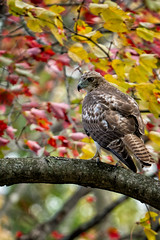 _DSC4638 Red Tailed Hawk (Charles Bonham) Tags: hawk redtailedhawk fall raptor leaves color tree branch bird bokeh red yellow talons sonya7rll sonyfe100400mmgmoss fallcolors