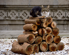 Meet Mr. Wood... (Raquel Borrrero) Tags: animal cat pet wood gato madera tronco pose cute outside fun