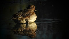 Sarcelle d'hiver - Eurasian teal (thomas.guillaume.tlse) Tags: birdwatching nature wildlife domainedesoiseaux sunset sarcelle teal